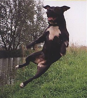 Tequila the American Pit Bull Terrier is in mid-air sideways jumping in the air, outside next to a body of water