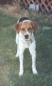 Buster the American Foxhound standing in front of a porch