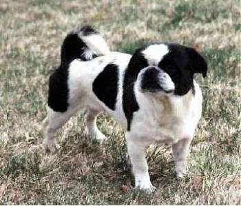 The front right side of a Black and white American Lo-Sze Pugg that is standing on grass and it is looking forward.
