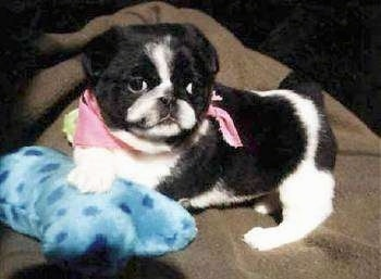 The left side of a black with white American Lo-Sze Pugg puppy that is laying on a blanket with a plush dog bone toy under it. The puppy is wearign a pink bandana and it is looking forward.