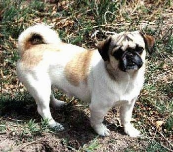 The right side of a white with tan American Lo-Sze Puggs that is standing across dirt next to some grass and it is looking forward.