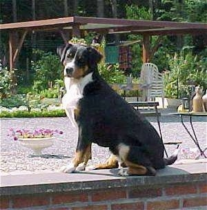 Xanti the Entlebucher Mountain Dog is sitting on a brick wall. There is a very nice rest area behind him wiht a Gazebo, table, flowers and trees