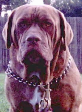 Close Up - A brown Australian Bandog is wearing a choke chain collar with a large leash clip. There is a wooden fence behind and it is looking forward.