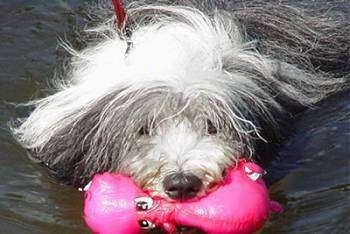 Nellie Rose the Bearded Collie has a hot pink hippo toy in her mouth has she swims in water