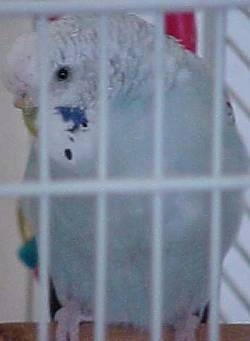 Close up - A white with blue and yellow Budgerigar bird is standing on a stick in a cage and it is looking down and to the left.