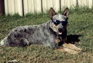 The right side of an Australian Cattle Dog that is wearing sunglasses with his tongue out and it is laying across a lawn. There is a wooden fence behind it.
