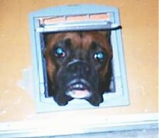 A fawn wiht black Boxer is poking its head through the light blue window of a beige dollhouse.
