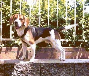 Leo the Beagle standing on a stone wall in front of a fence
