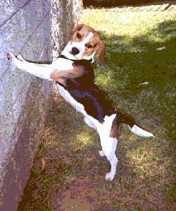 Leo the Beagle jumping up against a concrete wall
