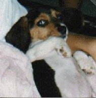 Close Up - Patch the Beagle in the arms of a person