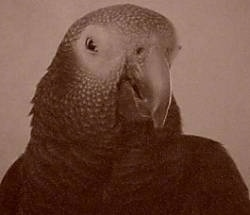 Close up head shot - A black and white photo of an African Grey Parrot looking down and to the right.