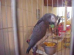 An African Grey Parrot is standing on a food dish attached to the cage. It has a grape in its mouth.