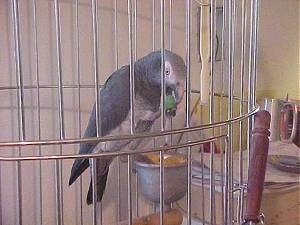 An African Grey Parrot is standing on a food dish inside of a cage and there is a grape in its mouth