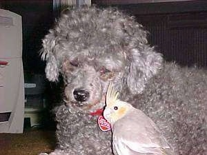 A curly haired grey Poodle dog is laying next to a Cinnamon pied Cockatiel bird on the floor.