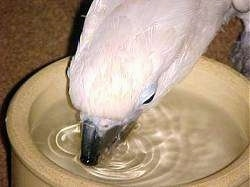 Close up - A white Cockatiel bird is drinking water out of a small tan bowl.