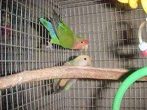 Two Lovebirds are hanging on the side of a cage with bird toys around them.