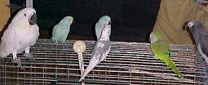 Six birds are standing on top of a cage and there is a person standing behind it.