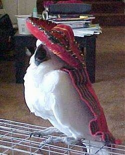 A white Cockatoo is wearing a red sombrero and it looks like it is posing with it on. It is wearing a red scarf that is hanging over the edge of the cage it is standing on in a living room.