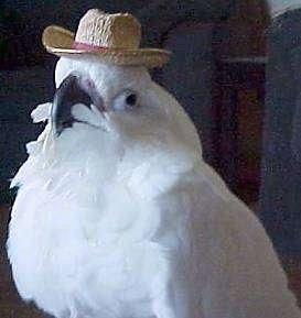 close up - A white Cockatoo that is wearing a hat and it is looking forward.