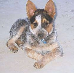 An Australian Cattle Dog puppy is laying down in sand and it is looking forward.