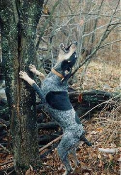 Lady Blue the Bluetick Coonhound jumping against a tree barking at something up in the tree