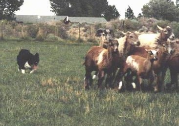 dot doing what she wasborn to do herding photo courtesy
