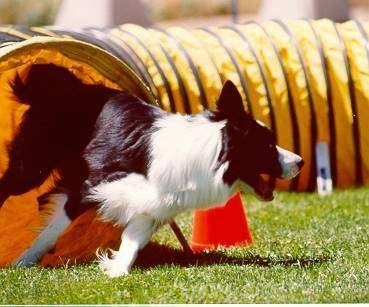 Cyrano the Border Collie running out of an agility tunnel and turning to the left