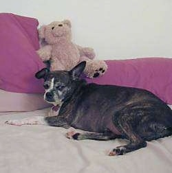 A small breed, black brindle with white Boston Terrier mix is laying on a human's bed and in front of it is a couple of pink pillows and on top of one of the pillow is a brown plush teddy bear.