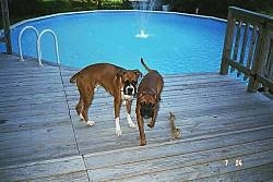 Bubba and Jake the Boxers walking away from an open pool
