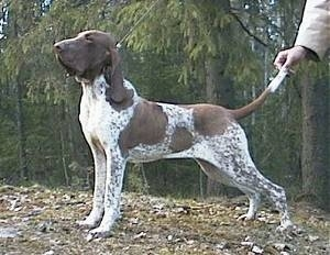 Right Profile - Bracco Italiano looking to the left with a person holding its tail up