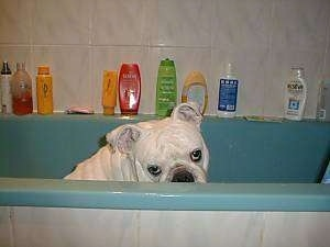 Clarence the English Bulldog in a bathtub looking over the side. A Myriad of shampoos and batheashes are behind him