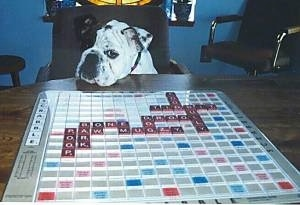 A white with black Bulldog is sitting in a chair at a table that has an active game of scrabble on it