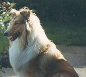 Upper body shot - Dusty the tan, white and black rough Collie is sitting outside and looking forward