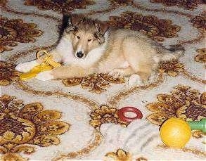 Dusty the tan and white rough coated Collie puppy is laying on a rug with dog toys in front of and next to him