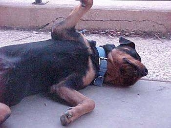 A large black with brown dog is laying on its side belly-up on concrete.