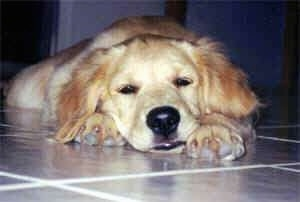 A tan Dog is laying down looking sleepy on a tiled floor