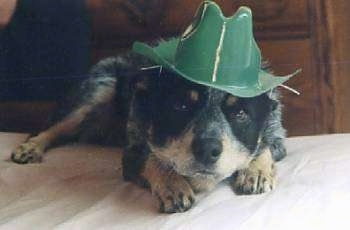 Close Up - A black with tan dog is laying on a bed and is wearing a plastic green hat