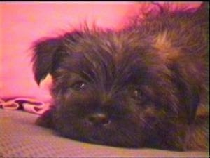 Close Up - Ted the Cairn Terrier as a puppy is laying down on a couch with a red pillow behind him
