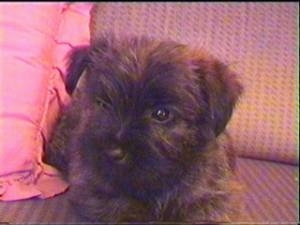 Ted the Cairn Terrier as a puppy is laying on a couch with a red pillow next to him
