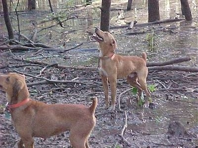 Two tan with white Kemmer Stock Hybrid Squirrel dogs are standing in the woods on dirt with sticks everywhere looking up a tree