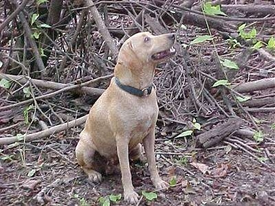 A Tan Kemmer Stock Hybrid Squirrel Dog is sitting in front of a pile of dried tree branches looking up and to the left.