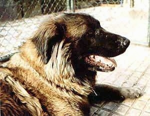 Close Up - Cão da Serra da Estrela is laying in a cage and looking to the left