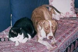 Dash the brown brindle and white Staffordshire Terrier is laying on a couch with a black and white cat named Pitsikokos