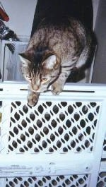 Shadow the Cat is jumping over a baby gate