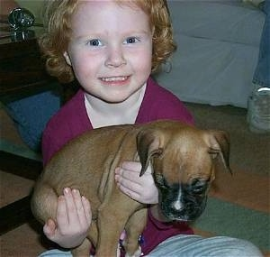 Close up - A girl in a purple shirt is holding a brown with white Boxer puppy that is laying in her arms.