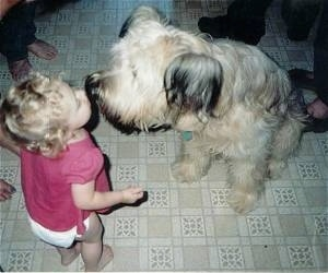 A toddler in a pink shirt is standing on a tiled floor and she has her mouth near the mouth of a tan with black Briard dog.