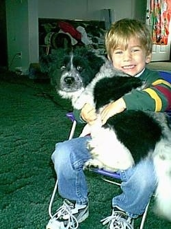 A boy in a colorful shirt is sitting in a small lawn chair in a living room with a black and white spaniel looking dog on his lap. They both are looking forward.