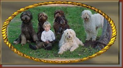 A boy in a white shirt is sitting in a field with 6  shaggy Australian Labradoodle dogs. Four dogs are brown and two are cream colored.