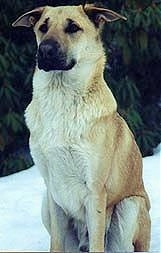 A brown with black Chinook dog is sitting in snow in front of a large tree
