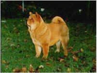 A Chow Chow is standing in yard and looking to the left. There is a thin white border around the edge of the image